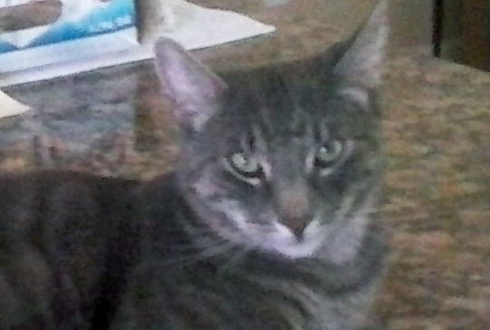 Lost Grey Male Tabby Cat With Green Eyes Homestead 171 Pet